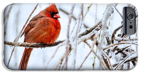 Aviary iPhone Cases - Cardinal in the Willow III iPhone Case by Jon Woodhams