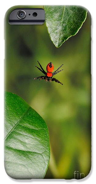 Jumping Spiders iPhone Cases - Cardinal Jumping Spider Jumping iPhone Case by Scott Linstead