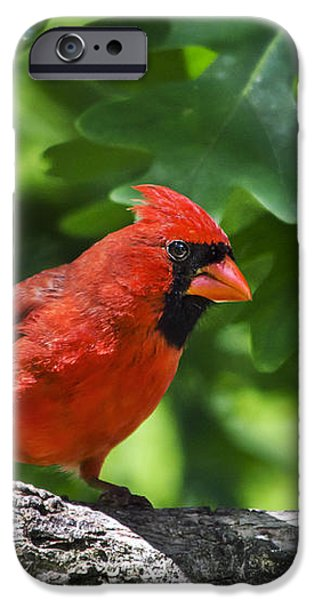 Cardinal Red iPhone Case by Christina Rollo