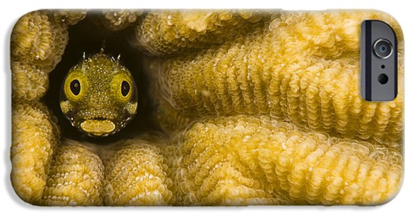Dave iPhone Cases - Caribbean, Blenny Fish Looking Out From iPhone Case by Dave Fleetham
