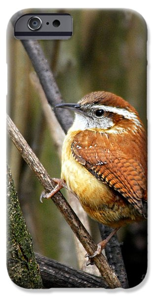 Wildlife Photographer iPhone Cases - Carolina Wren Looking Back iPhone Case by Timothy Flanigan