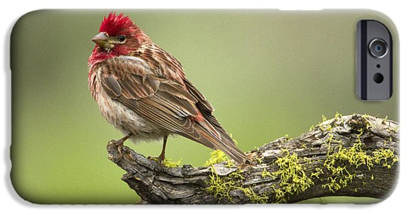 Birds iPhone Cases - Cassins Finch iPhone Case by Sharon Ely