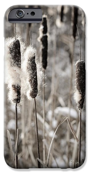 Cattails iPhone Cases - Cattails in winter iPhone Case by Elena Elisseeva