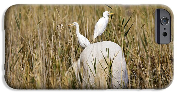 Cattle Egret iPhone Cases - Cattle Egret On Camargue Horse iPhone Case by M. Watson