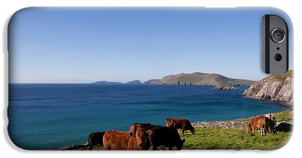 Head Stones iPhone Cases - Cattle With Distant Blasket Islands iPhone Case by Panoramic Images