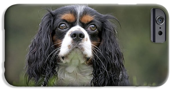 Dog Close-up iPhone Cases - Cavalier King Charles Spaniel iPhone Case by Johan De Meester