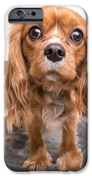Cute. Sweet iPhone Cases - Cavalier King Charles Spaniel Puppy iPhone Case by Edward Fielding
