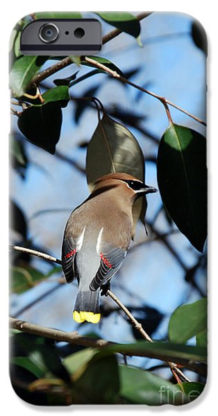 Seagull iPhone Cases - Cedar Portrait iPhone Case by Skip Willits