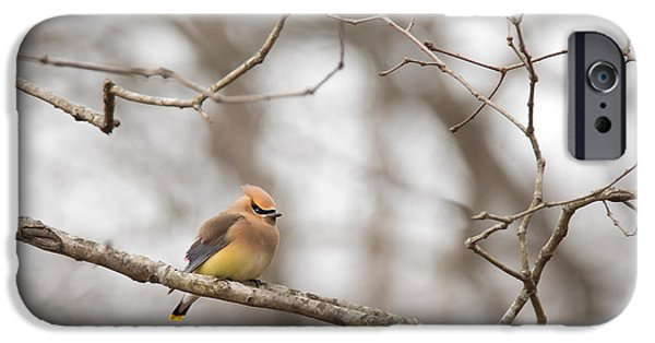 Berry iPhone Cases - Cedar Waxwing - Bombycilla cedrorum  iPhone Case by Christy Cox