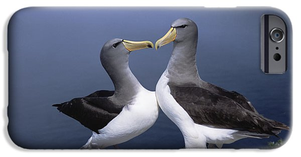 Chatham iPhone Cases - Chatham Albatross Courting Pair Chatham iPhone Case by Tui De Roy