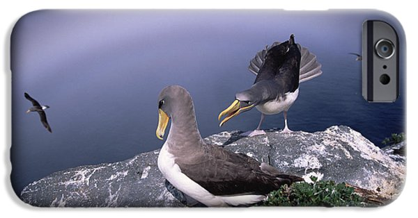 Chatham iPhone Cases - Chatham Albatross Pair On Cliff Chatham iPhone Case by Tui De Roy