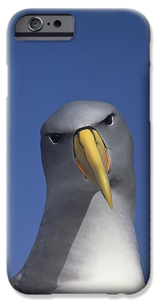 Chatham iPhone Cases - Chatham Albatross Portrait Chatham iPhone Case by Tui De Roy