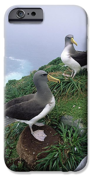 Chatham iPhone Cases - Chatham Albatrosses Nesting On A Cliff iPhone Case by Tui De Roy