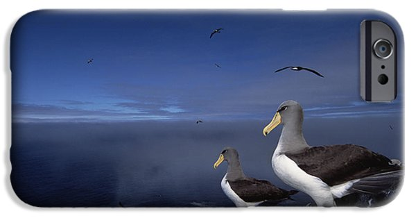 Chatham iPhone Cases - Chatham Albatrosses On A Cliff Edge iPhone Case by Tui De Roy