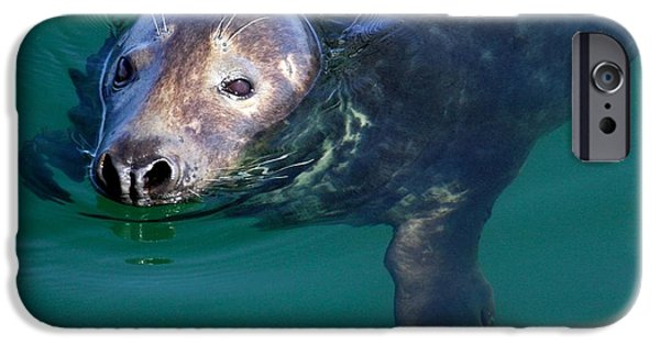 Chatham iPhone Cases - Chatham Harbor Seal iPhone Case by Stuart Litoff
