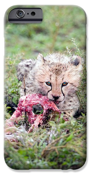 Feeding Young iPhone Cases - Cheetah Cub Acinonyx Jubatus Eating iPhone Case by Panoramic Images