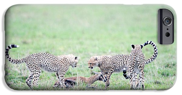 Masai Mara Photographs iPhone Cases - Cheetah Cubs Acinonyx Jubatus Hunting iPhone Case by Panoramic Images