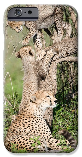 East Africa Photographs iPhone Cases - Cheetah Cubs Acinonyx Jubatus iPhone Case by Panoramic Images