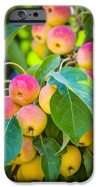 Viticulture iPhone Cases - Chelan Apples iPhone Case by Inge Johnsson