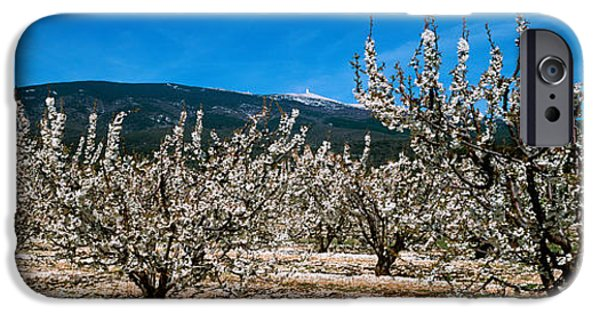 Cherry Blossoms iPhone Cases - Cherry Blossom, Mont Ventoux iPhone Case by Panoramic Images