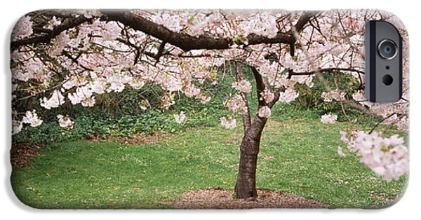 Cherry Blossoms iPhone Cases - Cherry Blossom Tree In A Park, Golden iPhone Case by Panoramic Images