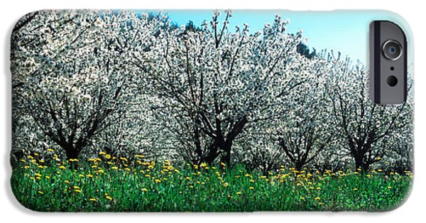 Cherry Blossoms iPhone Cases - Cherry Trees In A Field iPhone Case by Panoramic Images