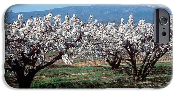 Cherry Blossoms iPhone Cases - Cherry Trees In A Field With Mont iPhone Case by Panoramic Images