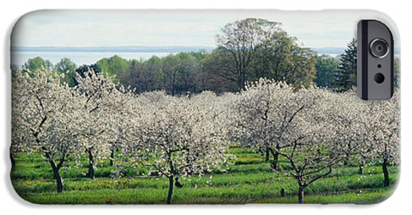 Crops iPhone Cases - Cherry Trees In An Orchard, Mission iPhone Case by Panoramic Images