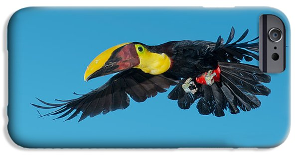 Toucan iPhone Cases - Chestnut-mandibled Toucan Flying iPhone Case by Anthony Mercieca