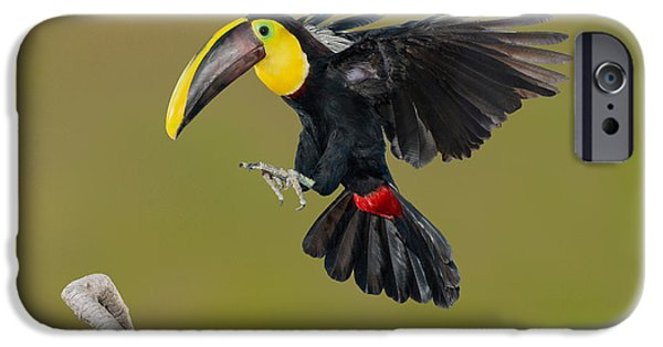 Toucan iPhone Cases - Chestnut-mandibled Toucan Landing iPhone Case by Anthony Mercieca