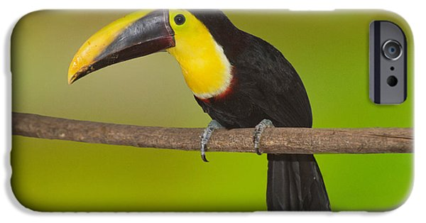 Toucan iPhone Cases - Chestnut-mandled Toucan iPhone Case by Anthony Mercieca