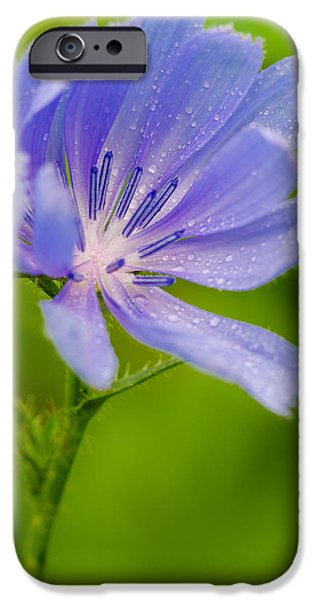 Forest Pyrography iPhone Cases - Chicory with morning dew iPhone Case by Anthony Heflin