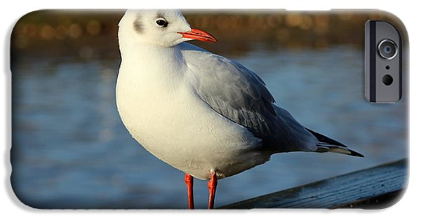 Sea Birds iPhone Cases - Chilled Black-headed Gull iPhone Case by Charles H Middleburgh