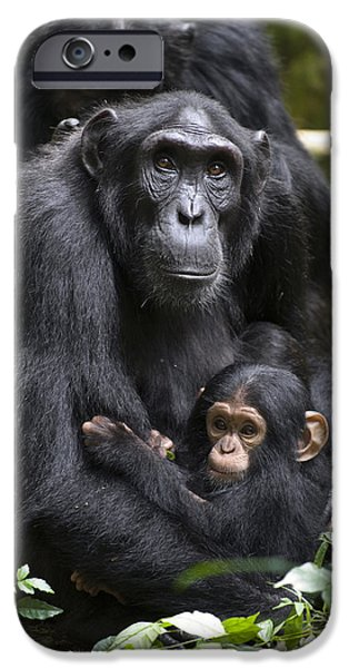 Recently Sold -  - Couple iPhone Cases - Chimpanzee And Infant Uganda iPhone Case by Suzi Eszterhas