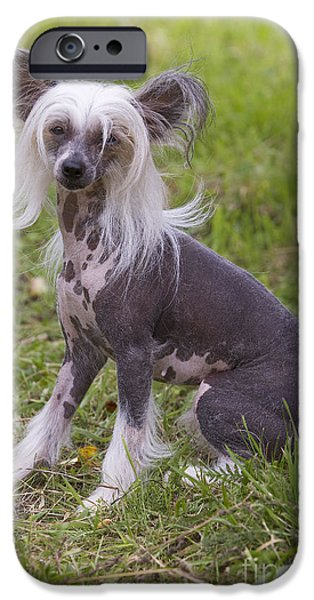 Strange iPhone Cases - Chinese Crested Dog iPhone Case by Jean-Michel Labat