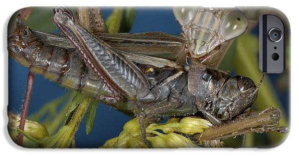 Mantodea iPhone Cases - Chinese Mantid Eating A Grasshopper iPhone Case by Scott Camazine
