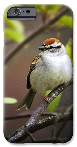 Chipping Sparrow iPhone Case by Christina Rollo