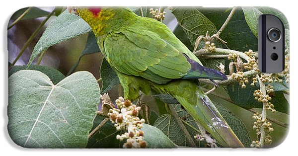 Parakeet iPhone Cases - Chiriqui Conure 2 iPhone Case by Heiko Koehrer-Wagner