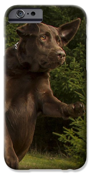 Chocolate Lab iPhone Cases - Chocolate Lab Drama iPhone Case by Jean Noren