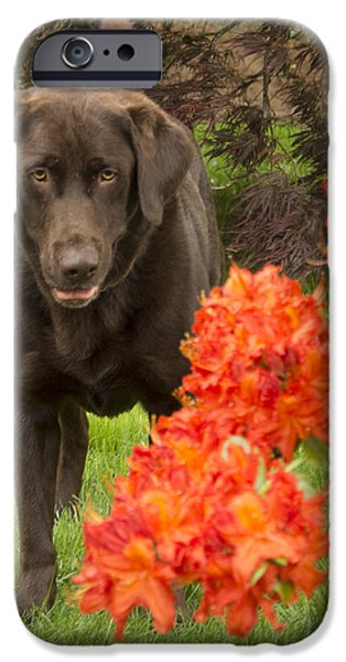 Chocolate Lab iPhone Cases - Chocolate Lab in Azaleas  iPhone Case by Jean Noren