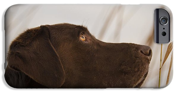 Chocolate Labrador Retriever iPhone Cases - Chocolate Lab Watching the sky iPhone Case by Jean Noren