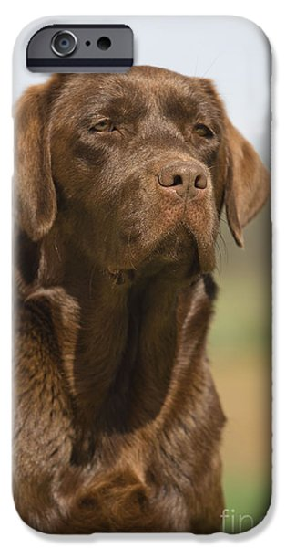 Chocolate Lab iPhone Cases - Chocolate Labrador Dog iPhone Case by Jean-Michel Labat