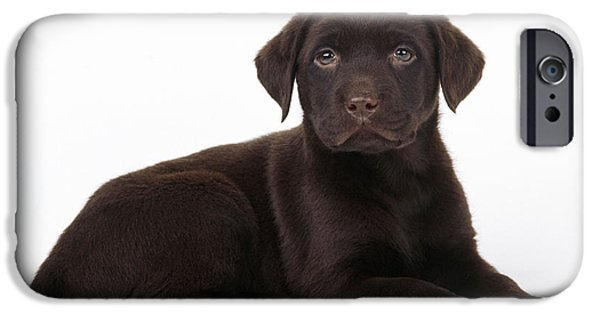 Chocolate Lab iPhone Cases - Chocolate Labrador Dog iPhone Case by John Daniels