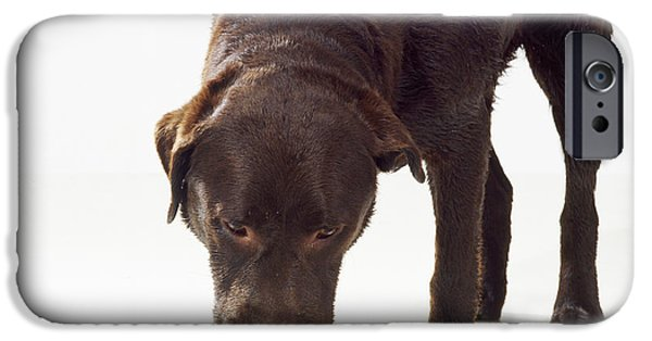 Chocolate Lab iPhone Cases - Chocolate Labrador Drinking iPhone Case by John Daniels