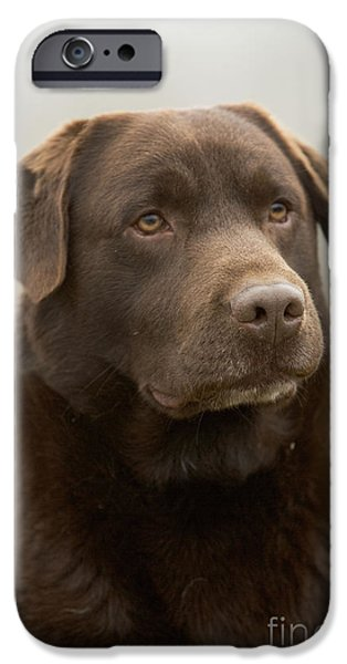 Chocolate Lab iPhone Cases - Chocolate Labrador iPhone Case by Jean-Michel Labat