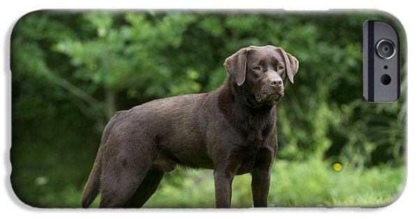 Chocolate Lab iPhone Cases - Chocolate Labrador iPhone Case by John Daniels