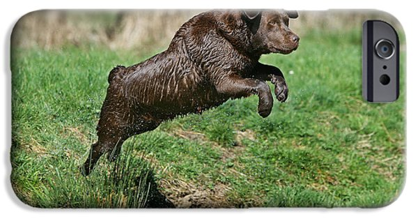 Chocolate Lab iPhone Cases - Chocolate Labrador Jumping iPhone Case by Jean-Michel Labat