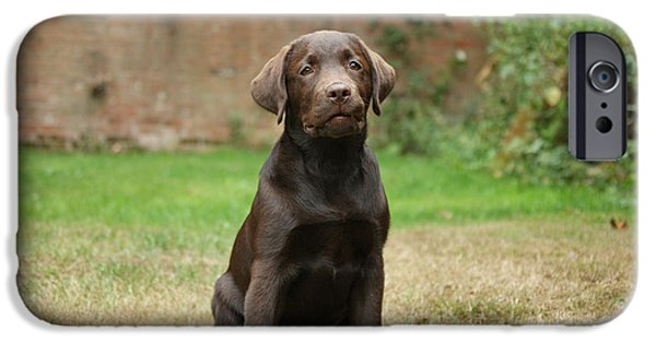 Chocolate Lab iPhone Cases - Chocolate Labrador Pup Sitting iPhone Case by Mark Taylor
