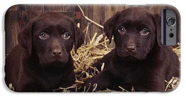Chocolate Lab iPhone Cases - Chocolate Labrador Puppies iPhone Case by John Daniels
