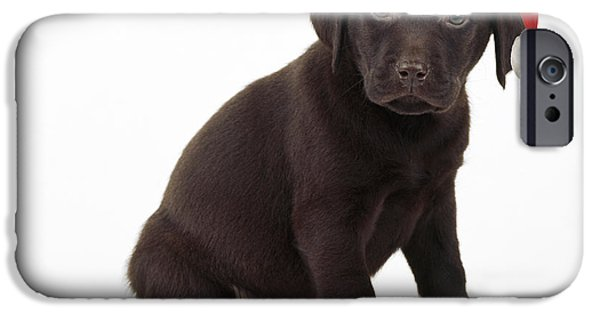 Chocolate Lab iPhone Cases - Chocolate Labrador Puppy, 6 Weeks Old iPhone Case by John Daniels